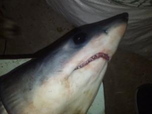 Nεοτερες εξελιξεις με το καρχαριακι στην Αμαρυνθο