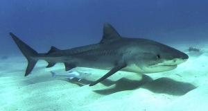 Καρχαρίας στην Ερέτρια